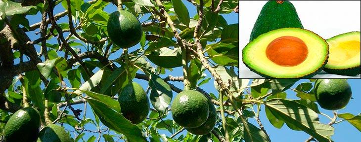 Так выглядит авокадо