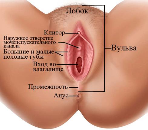 Женские половые органы
