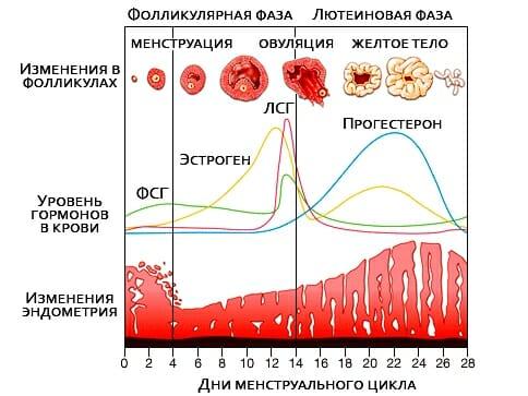 Цикл месячных