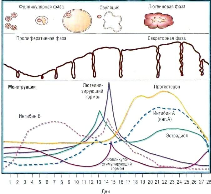 Фазы цикла у женщин