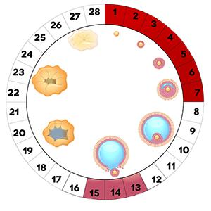 Менструальный цикл схема