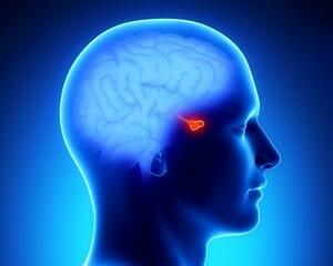 Изображение гипофиза у человека