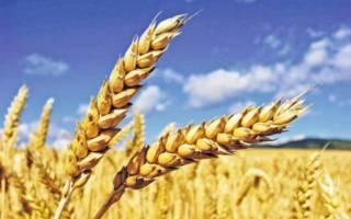 Колоски пшеницы