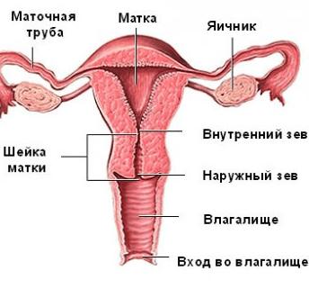 Строение матки и шейки матки