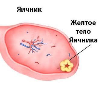 Желтое тело в яичнике